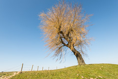 Leafless weeping willow (RuudMorijn) Tags: blue autumn sky tree green monument nature netherlands ecology beautiful beauty dutch yellow rural fence season outdoors countryside wooden spring wire flora colorful alone branch natural outdoor bare branches seasonal environmental peaceful veer boom willow bark trunk lone environment botanic lonely pastoral hybrid leafless dijk weepingwillow solitary lente barbed kale weeping solitaire ecological takken secondworldwar noordbrabant kaal koud gele salix voorjaar sprangcapelle solitair oorlogsmonument treurwilg tweedewereldoorlog capelse kapelscheveer kapelse