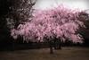 しだれ錯乱(・∀・) (punipuki) Tags: street flower tree nature japan photoshop spring sigma 桜 sakura cherryblossoms shizuoka 春 静岡 floralappreciation dp1x 駿府城公園