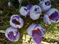 April2013 044 Crocus vernus 'Pickwick' (monica_meeneghan) Tags: flowers spring flowersonflickr