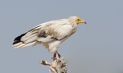 Egyptian Vulture (Aravind Venkatraman) Tags: morning india bird birds nikon indian birding 300mm national egyptian vulture dslr aravind birdwatching f4 birder bikaner nationalgeographic neophron percnopterus birdphotography 14tc neophronpercnopterus egyptianvulture nikondslr birdsindia indiabirds incredibleindia indianbirds birdphotographer dslrnikon nikon300mmf4 avphotography nikon14tc d7000 nikond7000 d7000nikon aravindvenkatraman