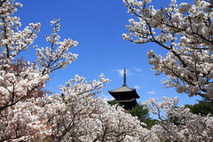 SAKURA with PAGODA (Teruhide Tomori) Tags: sky flower beauty japan cherry temple pagoda spring kyoto   sakura tradition japon   ninnajitemple