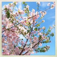Pretty Pollen Producer (welovethedark) Tags: tree spring cherryblossoms pollen cherrytree hipstamatic
