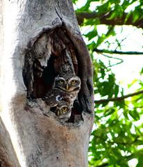 The cute couple.. Spotted Owlets ! (Shridev Parikh) Tags: bird birding owl birdofprey owlet birdphotography birdsofindia spottedowlet athenebrama