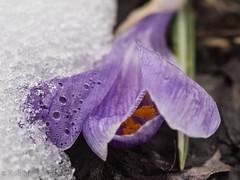Leaving winter behind (flickrolf) Tags: winter snow green spring crocus krokus yellowviolet