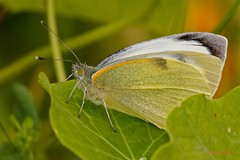 Canary Large White - Pieris cheiranthi ( BlezSP) Tags: white islands large canarias tenerife canary endangered mariposa islas pieris capuchina pieridae threatened papilionoidea amenazada cheiranthi