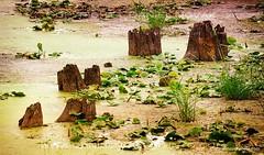 The Bog (DSH_5781) (masinka) Tags: wood nature wet grass landscape vermont unitedstates swamp stump bog vt lakechamplain alburgh