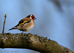 A proud Goldfinch (Bram Reinders) Tags: holland bird nature nikon wildlife bram goldfinch nederland thenetherlands natuur delfzijl groningen nikkor vogel putter cardueliscarduelis zangvogel farmsum reinders singingbird nikkor300mmf4ifed distelvink bramreinders wwwbramreindersnl nieuwsgierigheidisdebronvanallekennis curiosityisthesourceofallknowledge bramreindersfarmsum nikond7100