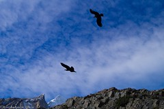 Vultur gryphus //Cndor Andino (fgarceseduardo) Tags: chile patagonia condor andino uploaded:by=flickrmobile flickriosapp:filter=nofilter