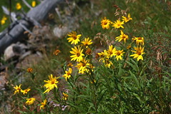 Arnica sp. (Erika & Rdiger) Tags: summer usa flower flora hiking yellowstonenationalpark wyoming wildflower arnica mysticfalls littlefireholeriver