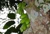 Fruits of Cucumber Tree (Averrhoa bilimbi) (berniedup) Tags: averrhoabilimbi taxonomy:binomial=averrhoabilimbi