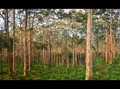 Boranup forest, southwest Australia (Marc Russo (Australia)) Tags: southwest fern tree cute forest rainforest south pixie fairy perth cave westernaustralia kookaburra karri boranup hamelin cavesroad hamelinbay