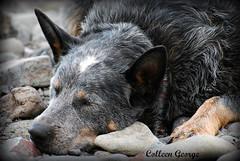 Beach Nap (NorthMountainGal) Tags: beach sleepy australiancattledog nappingdog