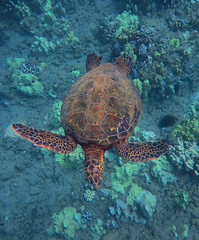out for a swim (bluewavechris) Tags: ocean life blue sea brown green nature water animal coral swim canon hawaii marine underwater snorkel turtle reptile wildlife dive shell maui scales reef creature flipper freedive g1x