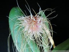 1378 - Bulbophyllum medusae (Luis_Renato) Tags: bulbophyllum cirrhopetalum medusae phyllorchis