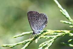 Western Tailed-Blue (lltownley) Tags: blue mountains nature animal butterfly insect rockies colorado butterflies insects bugs rockymountains jeffco coloradorockies jeffersoncounty reynoldspark jeffcoopenspace westerntailedblue cupidoamyntula jeffersoncountyopenspace jcos cbmn