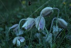 4  6h du matin (bulbocode909) Tags: fleurs anmones nature montagnes