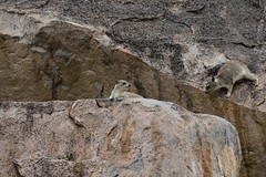 Mongoose near Ruaha River Lodge (1) (Prof. Mortel) Tags: tanzania ruahanationalpark mongoose