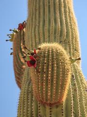Organ Pipe Cactus National Monument - Saguaro (adzamba) Tags: 2016 arizona cactacee cactus lukeville organpipe organpipecactusnationalmonument puertoblancodr saguaro succulente unitedstates usa carnegieagigantea fruit frutto