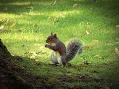 Squirrel Rampant (foggyray90) Tags: squirrel feeding