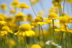 Dyer's chamomile golden marguerite   (kurupa_m) Tags: yellow flower plant summer hokkaido xt10