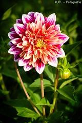 Dahlie / Dahlia (R.O. - Fotografie) Tags: dahlie dahlia blume flower outdoor closeup close up vignette panasonic lumix dmcfz1000 dmc fz1000 fz 1000 blte blossom natur nature