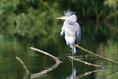 Grey heron (Shane Jones) Tags: greyheron heron wader bird predator wildlife nikon d500 200400vr tc14eii