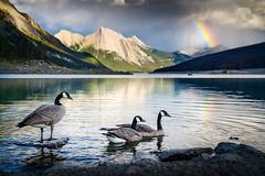Canada Geese at Medicine Lake (Luke Tscharke) Tags: canada geese jasper nationalpark rainbow evening sunset dusk alberta