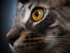 Through a Happy Eye (Kenny Dong) Tags: cat cats kitten kittens siberian siberianmix eye eyes fujifilm macro pet pets portrait
