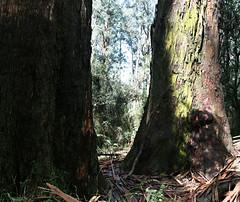 Married. (misty1925) Tags: gumtree eucalyptus victoria legend bullenbullenculturaltour dandenongranges kallista grantspicnicground aboriginal marriage wurundjeri