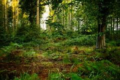 il tait une fois... (vieubab) Tags: arbres atmosphre bois branchage branches chemin extrieur escapade fort feuillage feuille fougres sonyflickraward luminosit nature unlimitedphotos paysage plante saveearth sentier sony sapin troncs verdure
