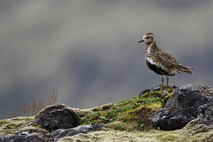 Goldregenpfeifer (Thomas Berg (Cottbus)) Tags: goldregenpfeifer pluvialis apricaria island isl iceland ave vogel regenpfeifer charadriidae european golden plover birds wildlife