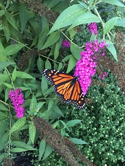 Another monarch in my garden! (Foxy Belle) Tags: monarch butterfly orange insect animal nature plant endangered species north america black white