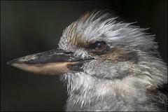kookaburra (Darwinsgift) Tags: kookaburra bird kingfisher portrait profile nikkor 200500mm f56 e hamerton zoo park huntingdon steeple golding england