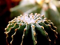 Geohintonia mexicana Glass & W.A.Fitz Maur. (Skolnik Collection) Tags: geohintonia mexicana glass wafitz maur cactus mexico skolnik collection