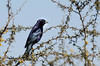 Mirlo | Shiny cowbird | Molothrus bonariensis (lalo_pangue) Tags: naturaleza nature aves birds sancristóbal parquemetropolitano birding birdwatching