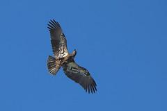"""Juvenile bald eagle """"defending"""" against osprey attack - Staten Island, New York (superpugger) Tags: statenislandbaldeagles bald eagles baldeagles newyorkcitywildlife lawrencepugliares lpugliares"""