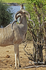 greater kudu5 (tragelaphus strepsiceros) ...Explored (Colin Pacitti) Tags: greaterkudu tragelaphusstrepsiceros kudu twistedhorns horns wildanimal mammal herbivore antelope animal outdoor choberiver botswana coth fantasticwildlife hennysanimals coth5