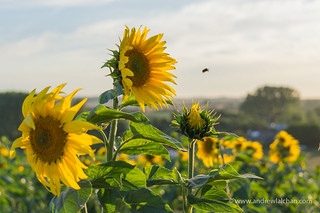 Sunflowers in Hitchin