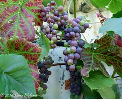 August 24th, 2016 We have grapes (karenblakeman) Tags: caversham uk garden cavershamgarden grapes fruit august 2016 2016pad vine