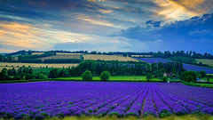 Lavender field at sunset (TanzPanorama) Tags: nature scenery scenic england kent lavender lullingstone tanzpanorama sony sonya7ii ilce7m2 fe1635mmf4zaoss fe1635 summer purple color colour countryside rural castlefarm hills sky clouds sunset dusk twilight rollinghills shoreham