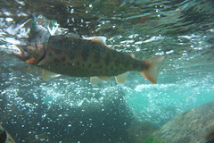 Yamame DSC_2972 (touhenboku) Tags: yamame    fly flyfishing