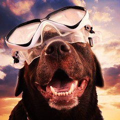 Cookie Monster!! (Jo Pugh Photography) Tags: dog labrador funny chocolate goggles swimming diving sunsets clouds silly wearing glasses instagram