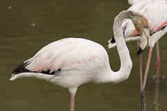 Flamant rose (pascalrambout) Tags: flamant rose flamingo phoenicopterus roseus greater phoenicoptrids rosaflamingo flamenco comn fenicottero maggiore flamingorosado