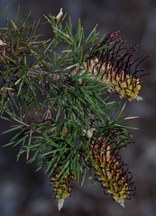Grevillea armigera, Kings Park, Perth, WA, 16/08/16 (Russell Cumming) Tags: plant grevillea grevilleaarmigera proteaceae kingspark perth westernaustralia