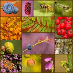 Between Summer and Autumn (Peter Quinn1) Tags: collage photocollage blackamoor september summer autumn sheffieldrotherhamwildlifetrust rowan oak heather wasp bilberry gall paintedlady greatburnet bellheather acorn lichen brownhawker cherry centenaryriverside