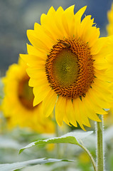 Sunny Sunflower (FagerstromFotos) Tags: flower sunflower girasol nature yellow biltmoreestate ashevillenorthcarolina seeds petals