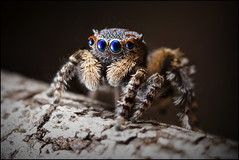 New Maratus sp (GTV6FLETCH) Tags: maratus peacockspider spider jumpingspider macro macrophotography canoneos5dmark2 canonmpe65 canonmpe65mm15xmacro newspecies undescribedmaratus undescribed mpe65mm mpe65 mpe 5dmarkii 5d2 5dmii westernaustralia