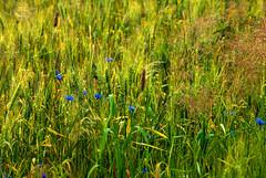 Jęczmień i chabry (Hejma (+/- 5200 faves and 1,6 milion views)) Tags: poland brzoskwinia crop barley cornflowers july green blue