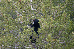 Crazy Bear In Tree 2220 (casch52) Tags: bear tree mammal animal wildlife wild nature fur cute ursus climb brown climbing cub looking big omnivore predator beautiful young fauna watching black face captive arctos forest life background portrait ursusarctos animalia nose carnivore danger dangerous joy closeup feeding eye family claws relaxing canada nordic sweet furry paw woods outdoors crazy 400mm canon f4 dois sapling antics fun