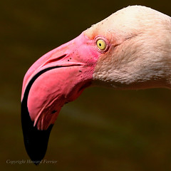 Pretty flamingo (Howard Ferrier) Tags: flamingo portrait beak asia vertebrate water chordate droplets closeupview pink hongkong eye anatomy kowloonpark bird phoenicopterus kowloon hk photography elements